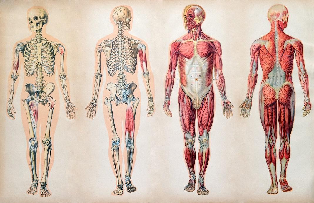 25 de curiozități din anatomie