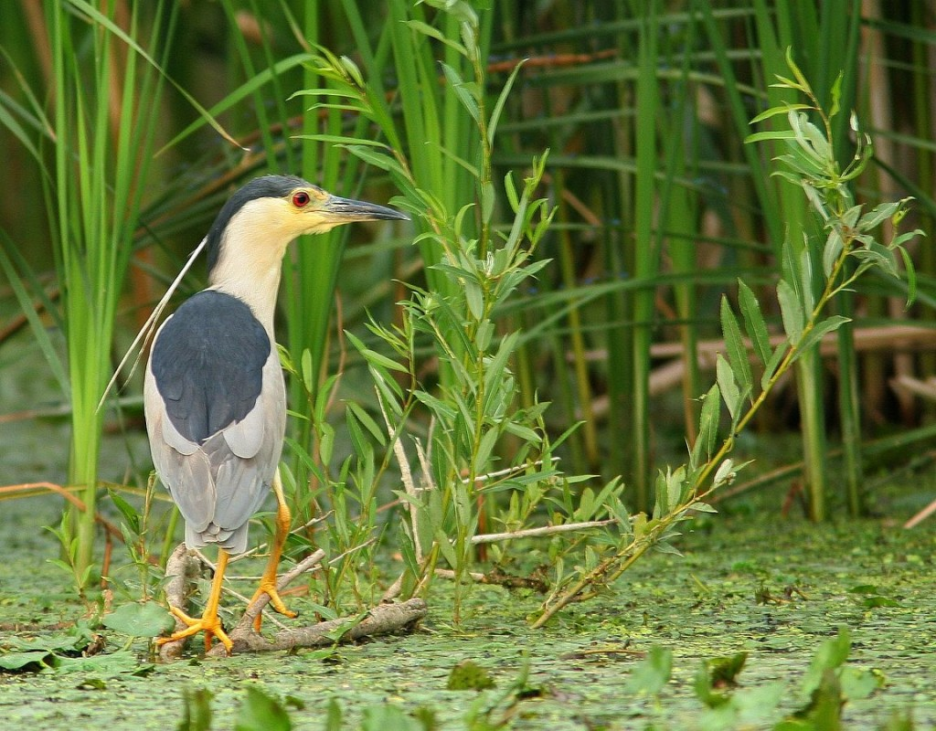 1152px-Nycticorax_nycticorax'_AM1_slepowron