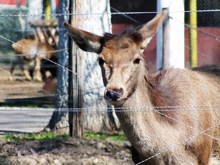 caprioara zoo braila