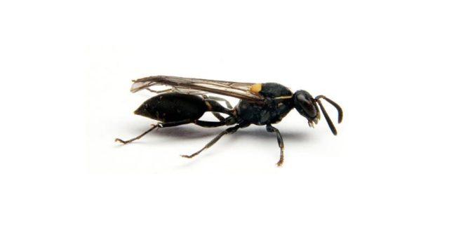 Veninul unei viespe braziliene, potențial leac pentru cancer