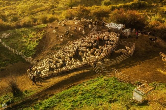 alesul oilor Auraş Mihaiu