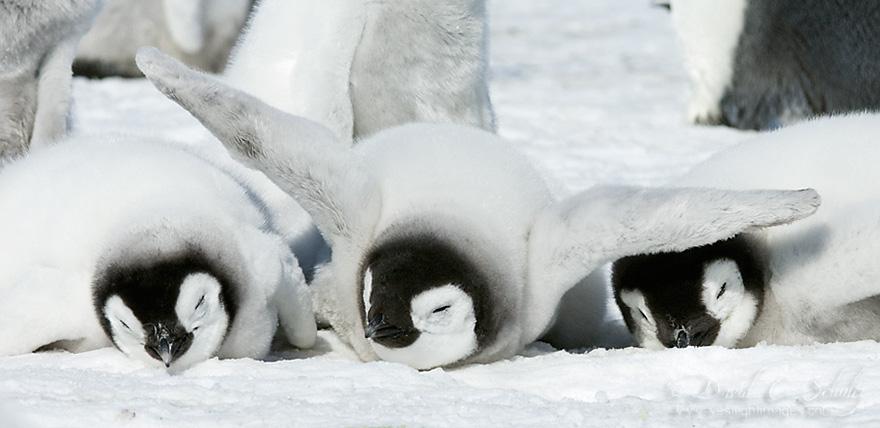pinguin 5