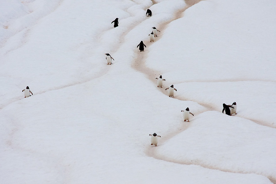 pinguin 7