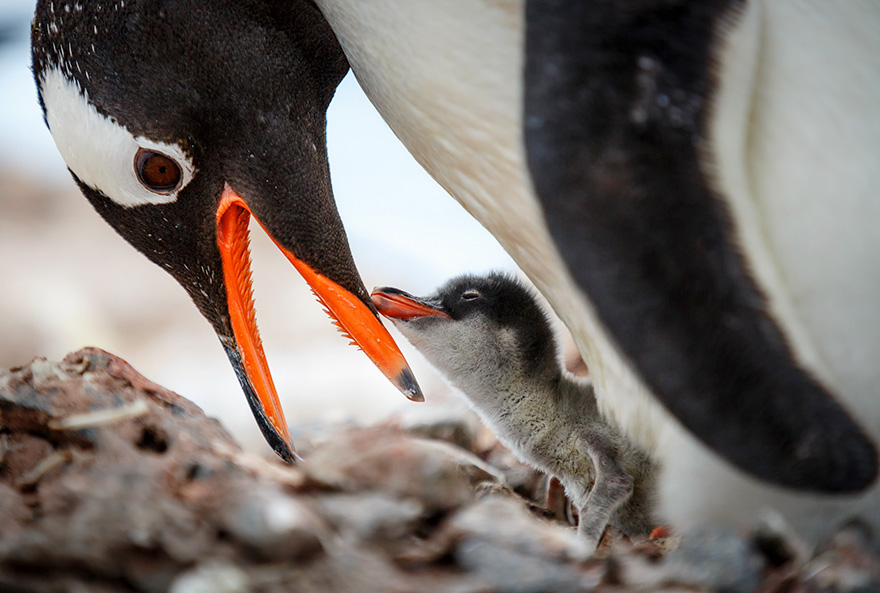 pinguin 8