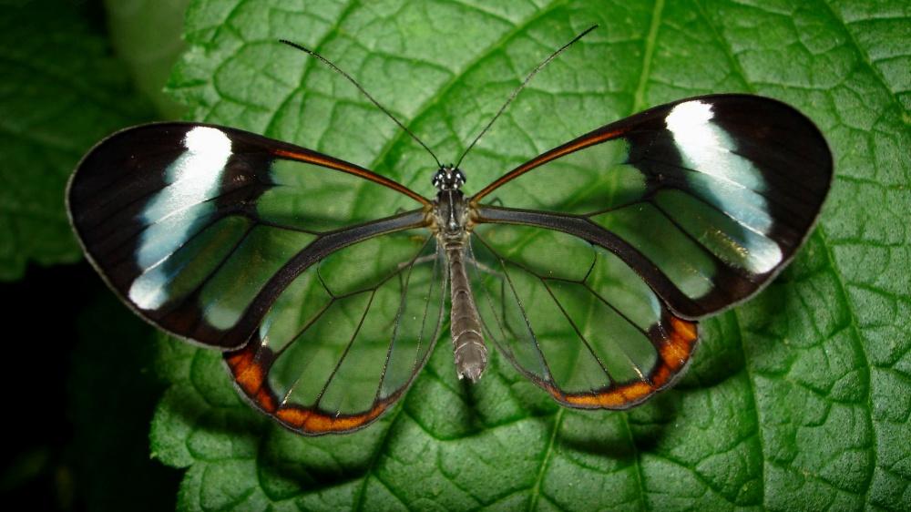 fluture transparent