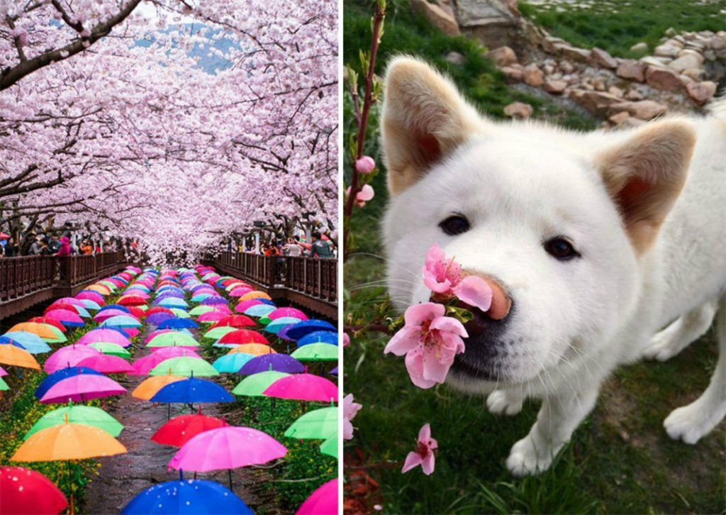 spring-japan-cherry-blossoms-national-geographics-221