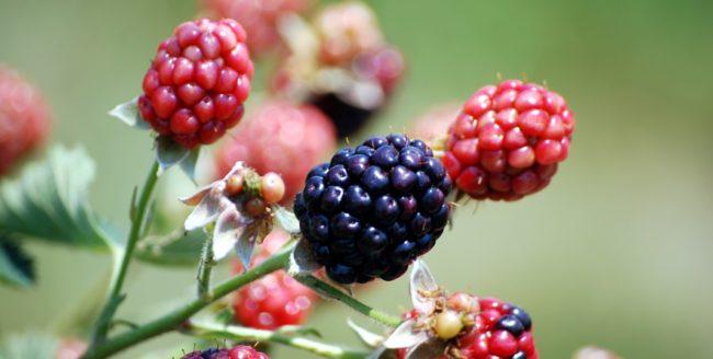 Beneficiile fructelor de mure, sursa de tinerețe
