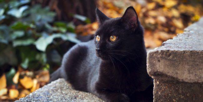 Curiozități despre pisicile negre