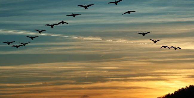 Curiozități despre păsările călătoare