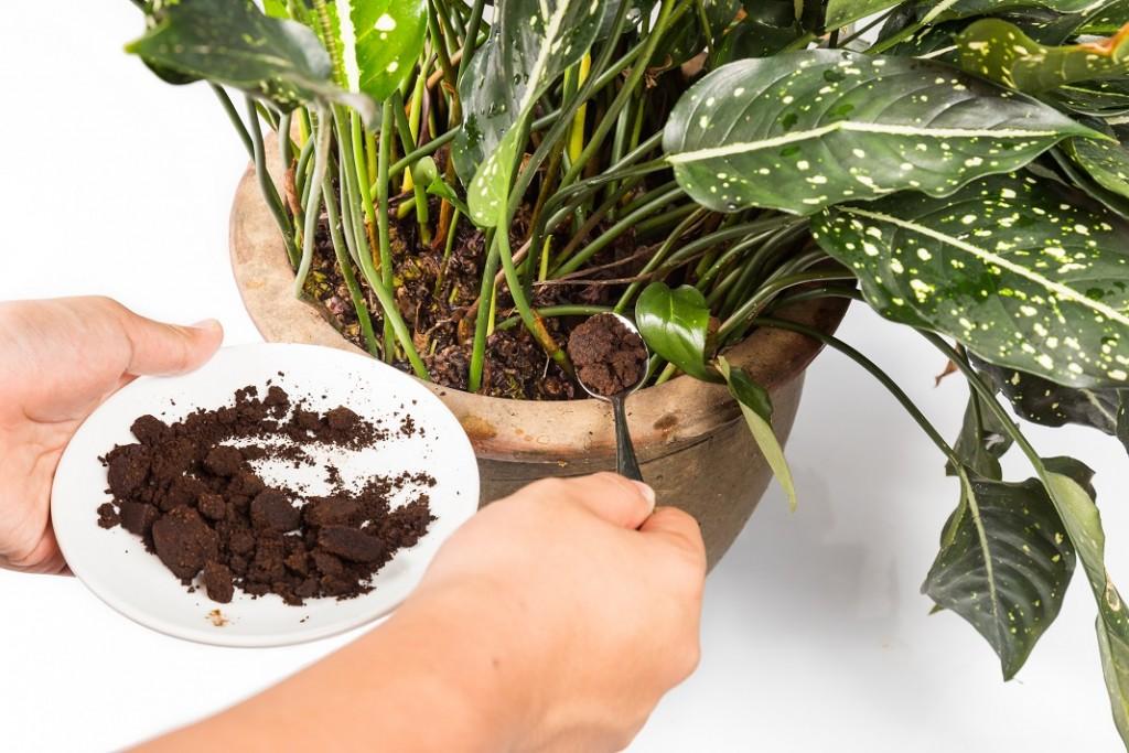 zat-cafea-planta